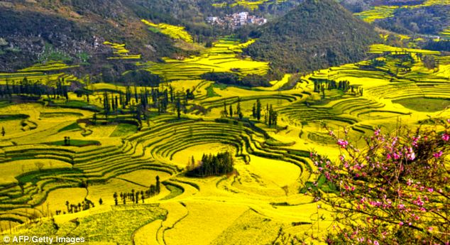 The rapeseed plants in full bloom and ready for harvest in the farms in Luoping, southwest China