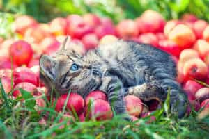 image of a kitty with apples