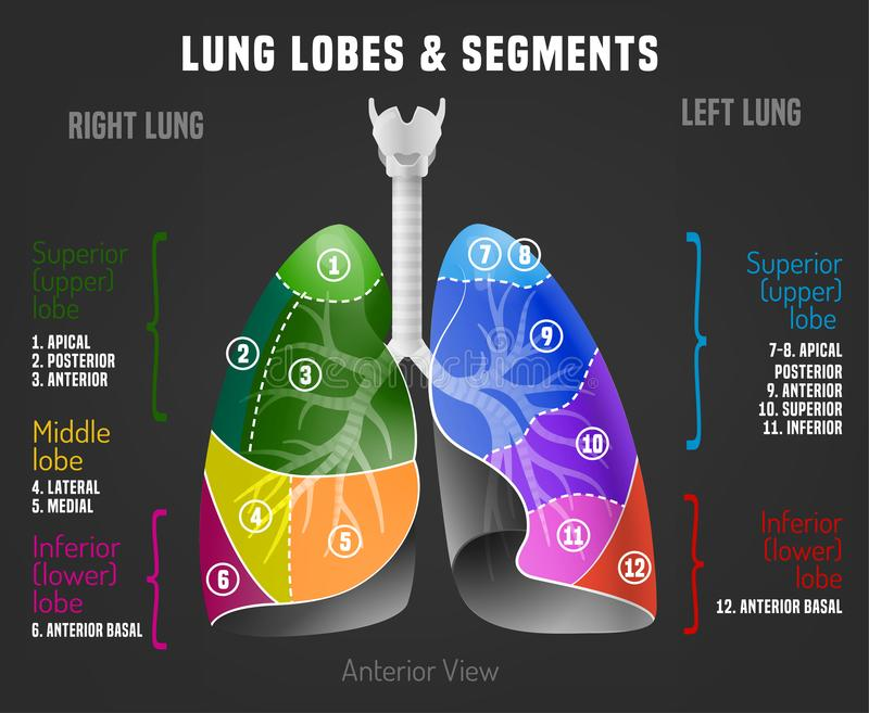 Human lungs infographic stock illustration